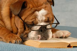 "A bulldog with glasses ""reads"" a book"