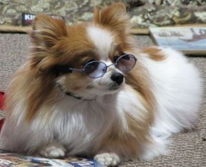 A small dog with glasses sits at a book