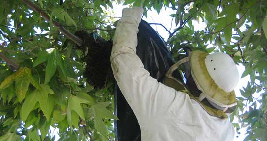 Bee Keeper Removes Bees From a Tree